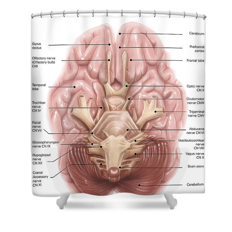 Anatomy of human brain inferior view shower curtain for sale by brain stem shower curtain featuring the photograph anatomy of human brain inferior view by alan ccuart Image collections