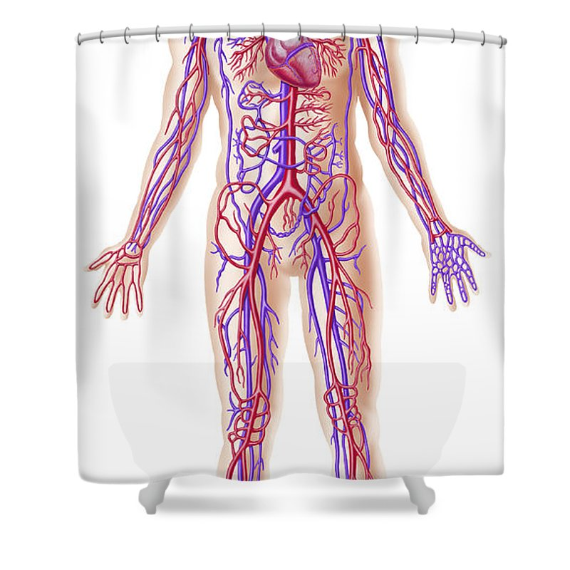 Anatomy Of Human Circulatory System Shower Curtain For Sale By Leonello Calvetti