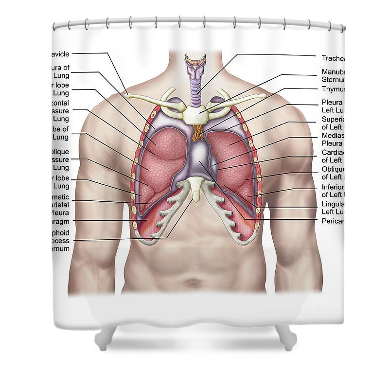 Anatomy Of Human Lungs In Situ Shower Curtain For Sale By Stocktrek