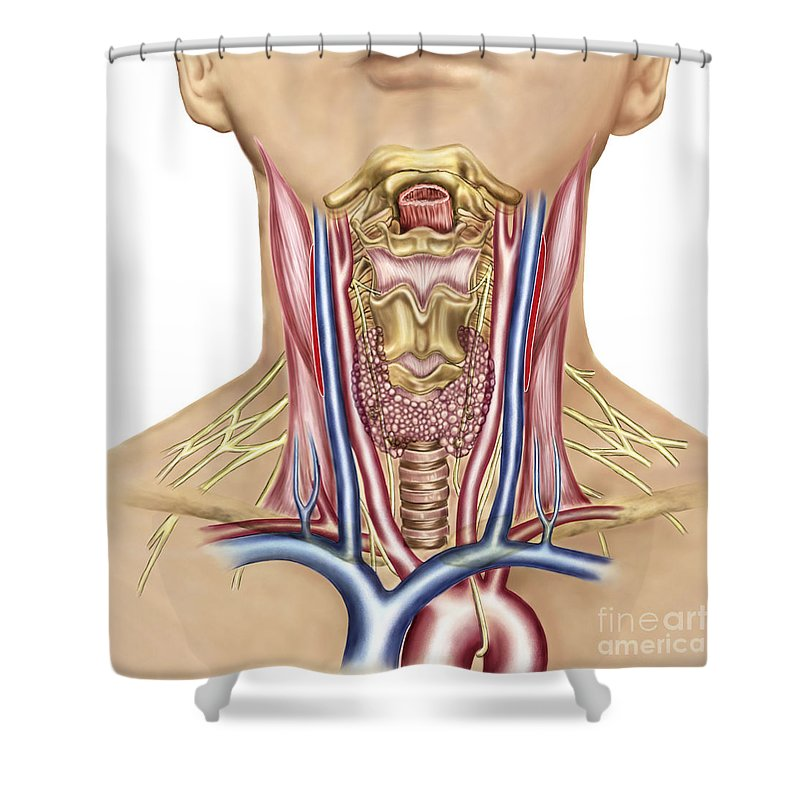 Healthcare Shower Curtain Featuring The Digital Art Anatomy Of Human Neck By Stocktrek Images