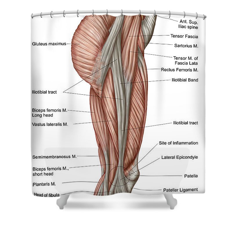 Anatomy Of Human Thigh Muscles Shower Curtain For Sale By Stocktrek