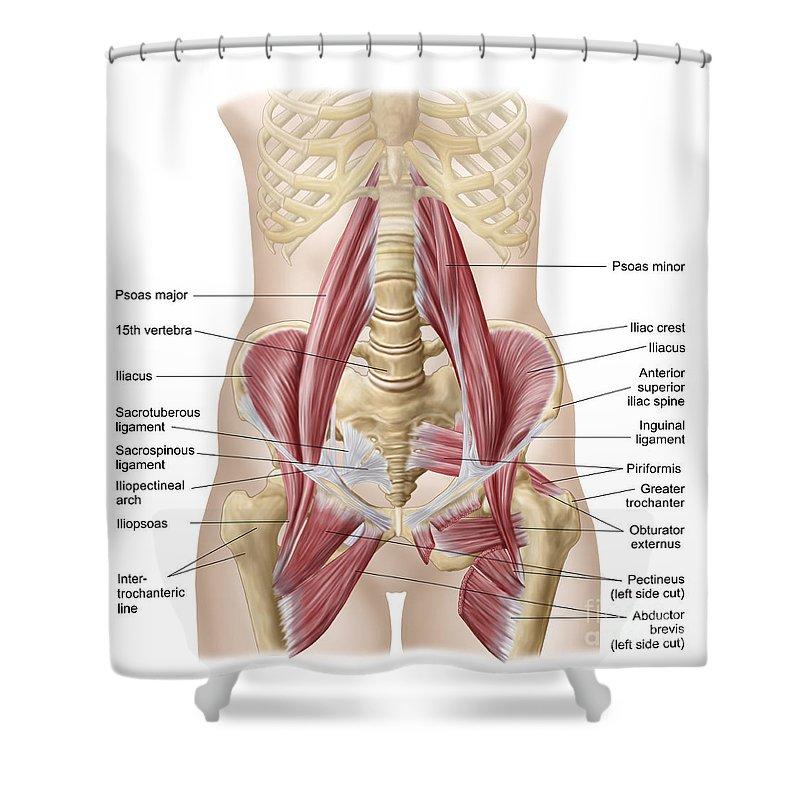 Inguinal Ligament Shower Curtains | Fine Art America