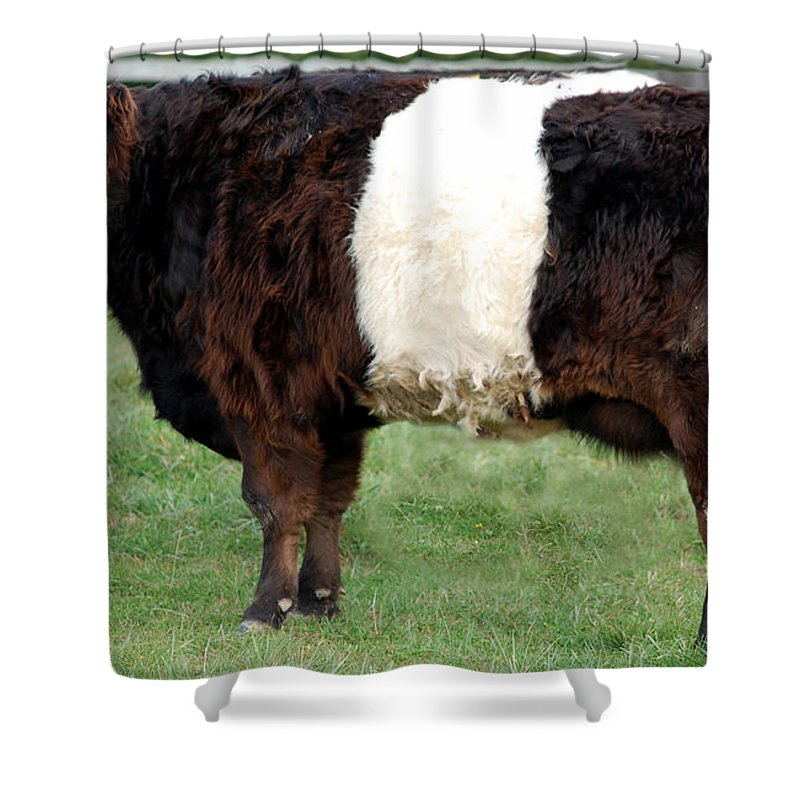 Galloway Shower Curtain featuring the photograph Ancient Breed Belted Galloway by Richard Ortolano