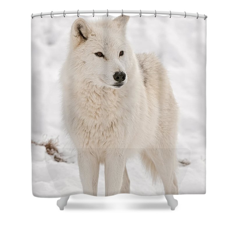 Arctic Wolf Shower Curtain featuring the photograph Arctic Wolf Pictures 844 by World Wildlife Photography