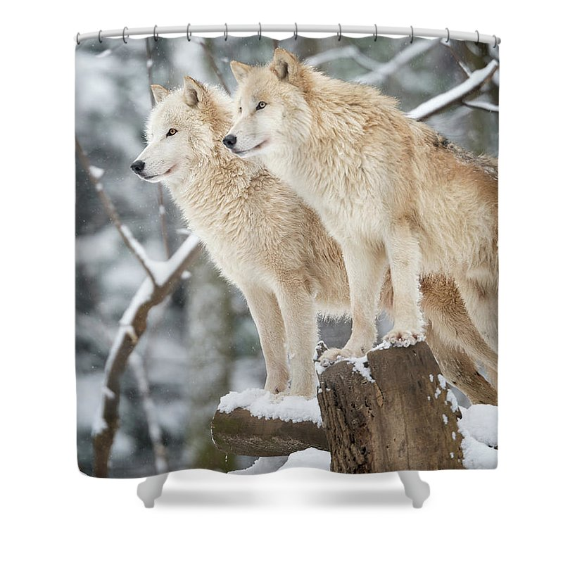 Snow Shower Curtain featuring the photograph Arctic Wolves Pack In Wildlife, Winter by 4fr