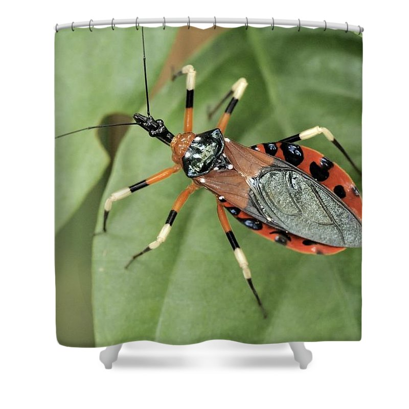 Wildlife Shower Curtain Featuring The Photograph Assassin Bug Eulyes Sp By Fletcher Baylis