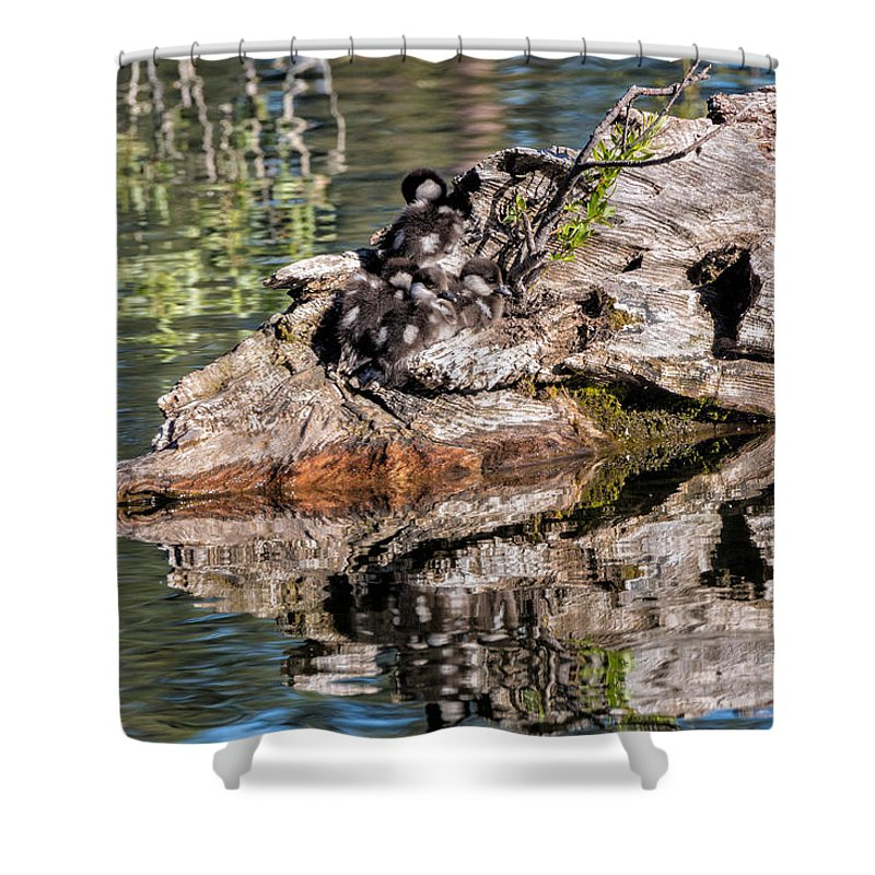 Bucephala Albeola Shower Curtain featuring the photograph Baby Buffleheads by Kathleen Bishop