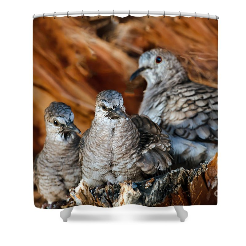 Bird Shower Curtain featuring the photograph Baby Inca Doves by Robert Bales