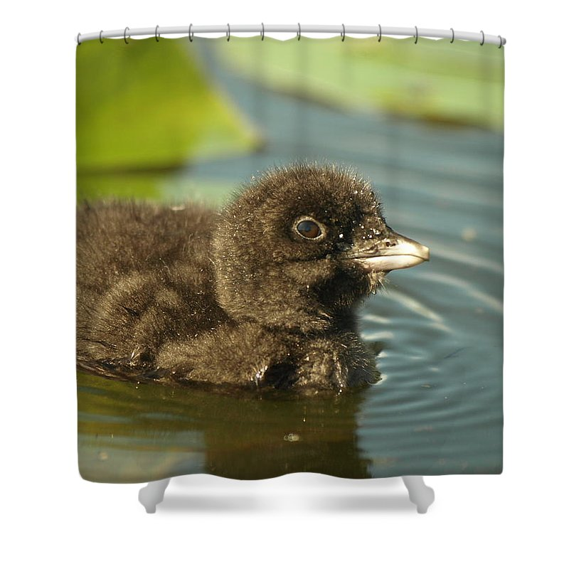 Common Loon Shower Curtain Featuring The Photograph Baby By James Peterson