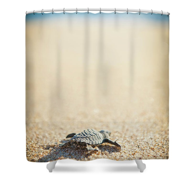 Shadow Shower Curtain featuring the photograph Baby Pacific Green Sea Turtle Heads For by Stephen Simpson