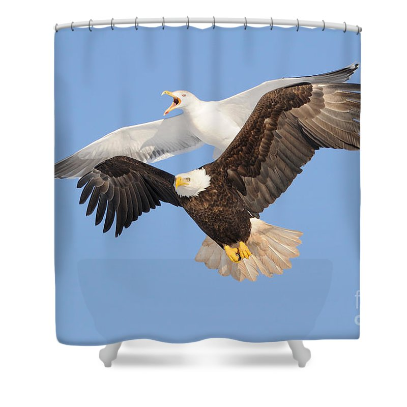 Flight Shower Curtain featuring the photograph Bald Eagle And Greater Black-backed Gull by Scott Linstead