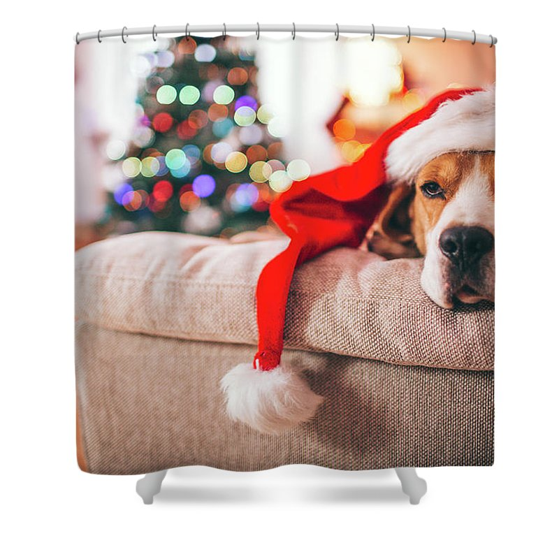Pets Shower Curtain featuring the photograph Beagle Santa by Aleksandarnakic