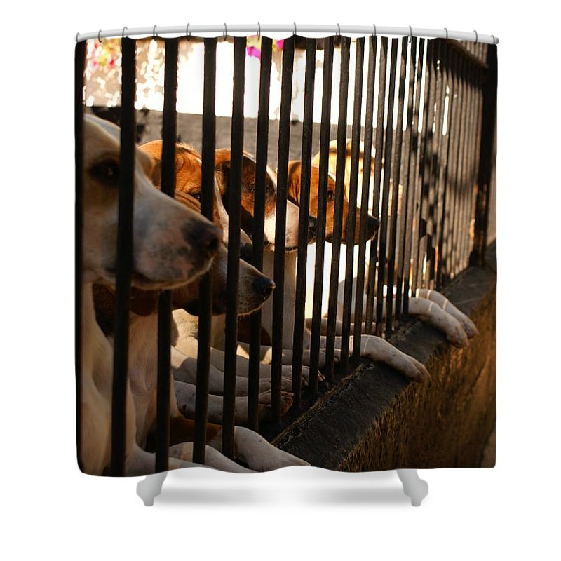 Beagle Pack Shower Curtain featuring the photograph Beagles At Stowe Two by Simon Kennedy