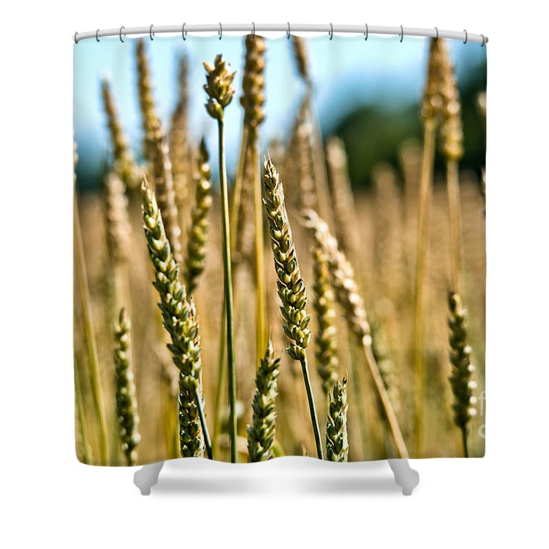 Wheat Shower Curtain featuring the photograph Beautiful Wheat by Cheryl Baxter