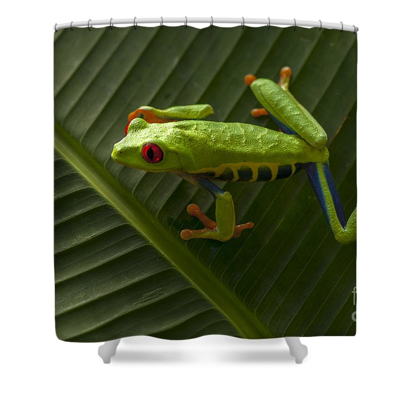 Frog Shower Curtain featuring the photograph Beauty Of Tree Frogs Costa Rica 8 by Bob Christopher