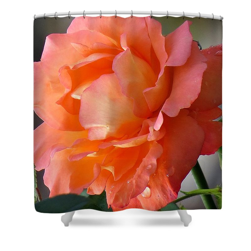 Floral Shower Curtain featuring the photograph Beauty Rose by Zina Stromberg