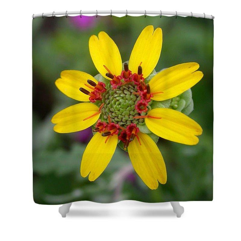 Chocolate Flower Shower Curtain featuring the photograph Berlandiera Lyrata by Cynthia Wallentine