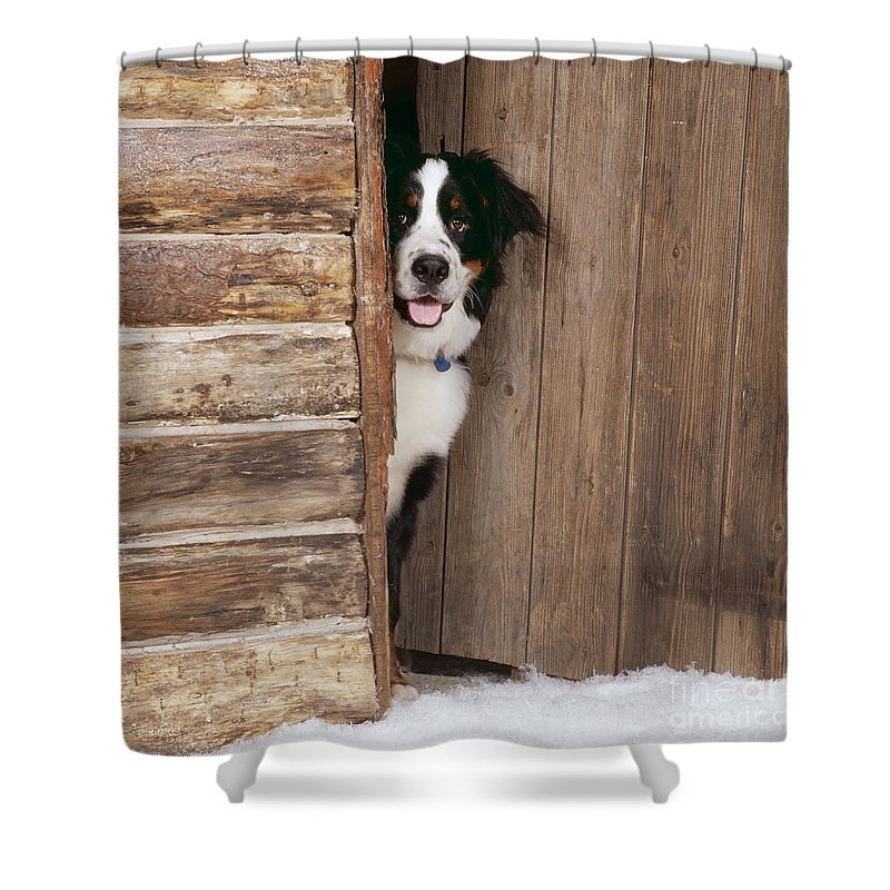 Bernese Mountain Dog At Log Cabin Door Shower Curtain for Sale by ...