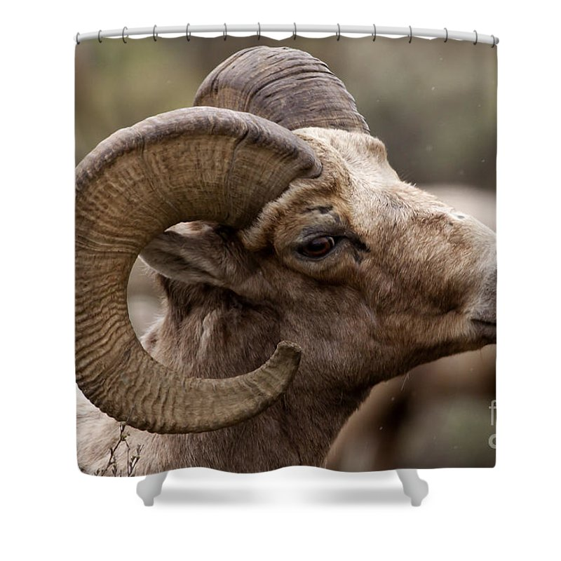 Sheep Shower Curtain featuring the photograph Big Horn Ram  #1503 by J L Woody Wooden