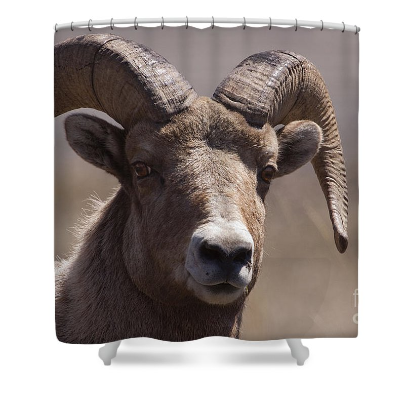 Ovis Canadensis Shower Curtain featuring the photograph Big Horn Ram  #1701 by J L Woody Wooden