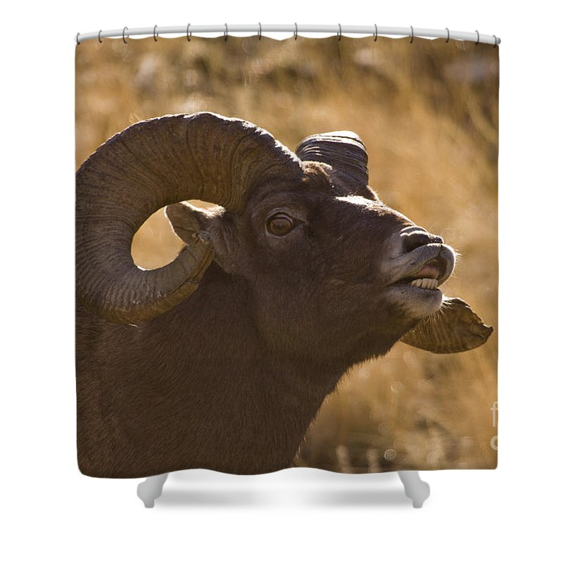 Ovis Canadensis Shower Curtain featuring the photograph Big Horn Ram  #4856 by J L Woody Wooden