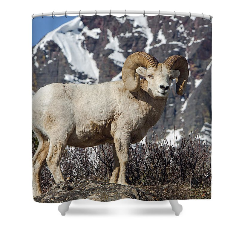 Big Horn Ram Shower Curtain featuring the photograph Big Horn Ram In Spring by Jack Bell