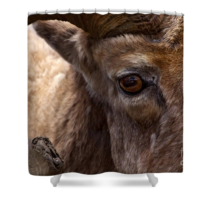 Ovis Canadensis Shower Curtain featuring the photograph Big Horn Ram by J L Woody Wooden