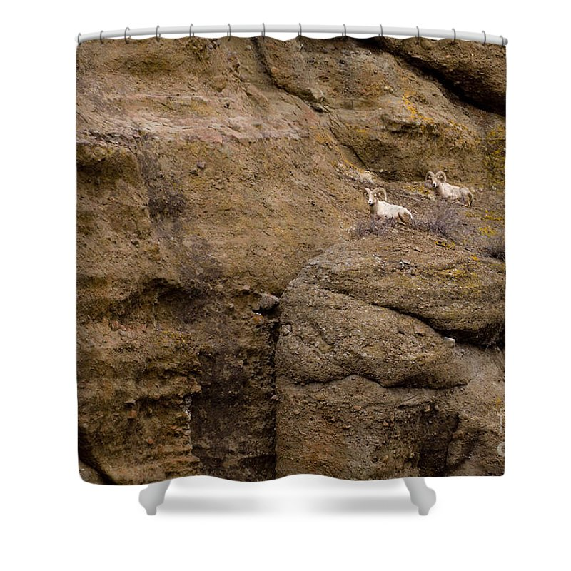 Ovis Canadensis Shower Curtain featuring the photograph Big Horn Rams  #1546 by J L Woody Wooden