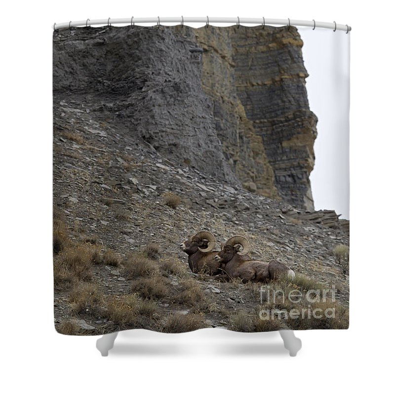 Sheep Shower Curtain featuring the photograph Big Horn Rams  #9148 by J L Woody Wooden
