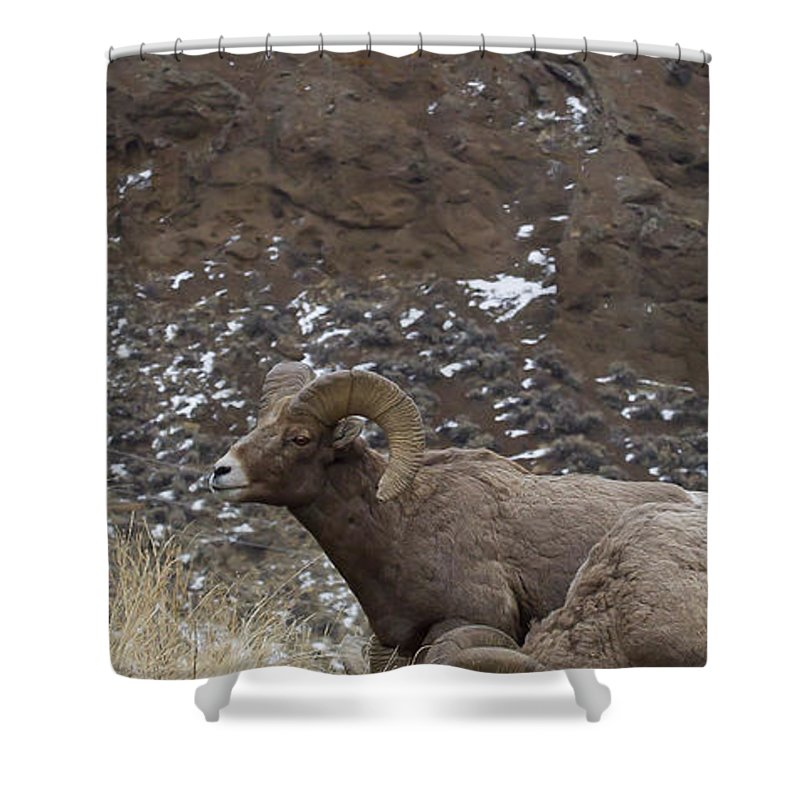 Sheep Shower Curtain featuring the photograph Big Horn Rams And Hoo Doos  #6587 by J L Woody Wooden