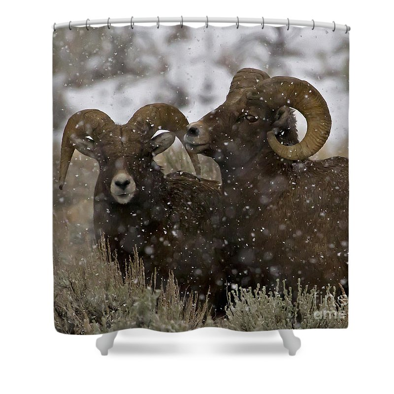Sheep Shower Curtain featuring the photograph Big Horn Rams In The Snow  #2493 by J L Woody Wooden