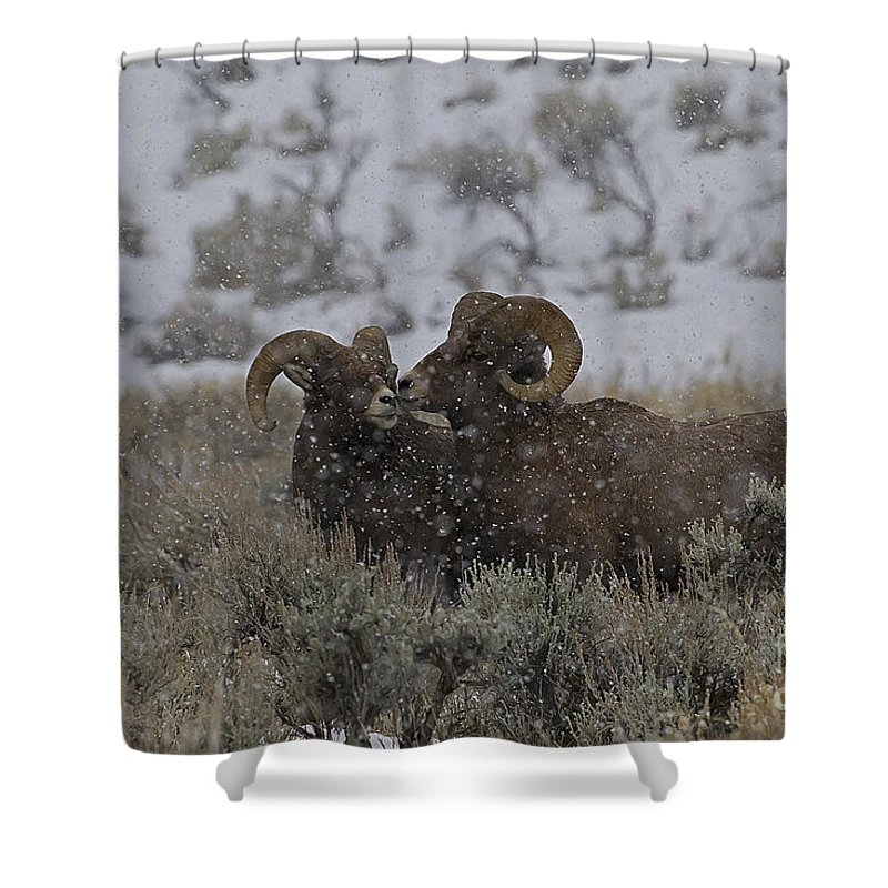 Sheep Shower Curtain featuring the photograph Big Horn Rams In The Snow  #2523 by J L Woody Wooden