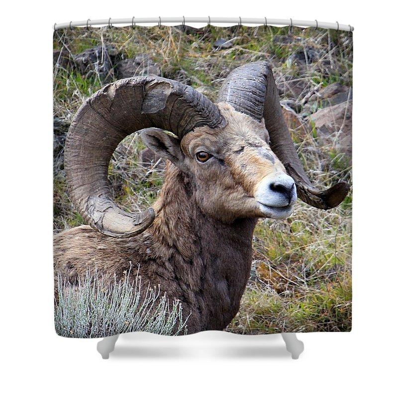 Bighorn Sheep Shower Curtain featuring the photograph Bighorn Battle Scars by Steve McKinzie