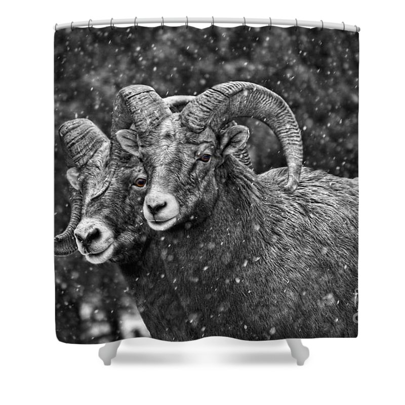Bighorn Sheep Shower Curtain featuring the photograph Bighorn Brothers In Grey Colorized by James Anderson
