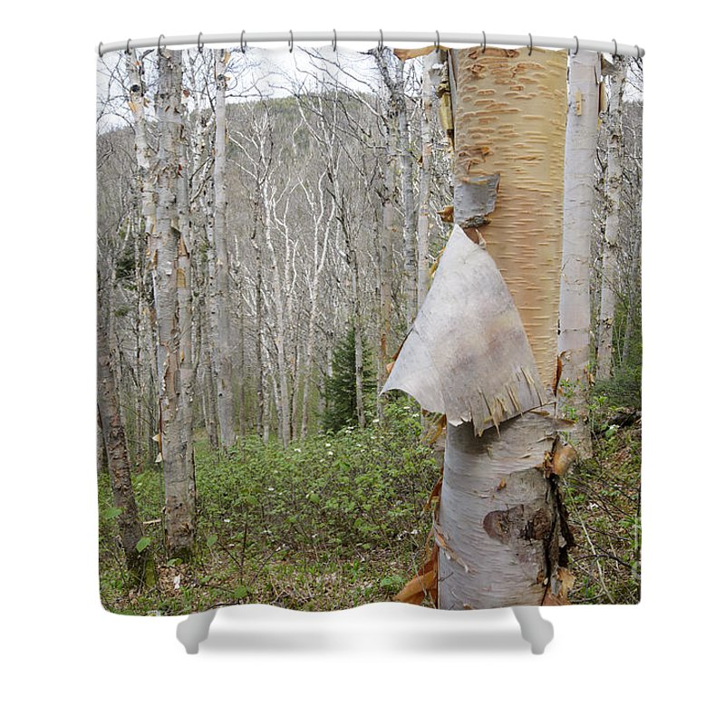 American White Birch Shower Curtain Featuring The Photograph Tree Forest