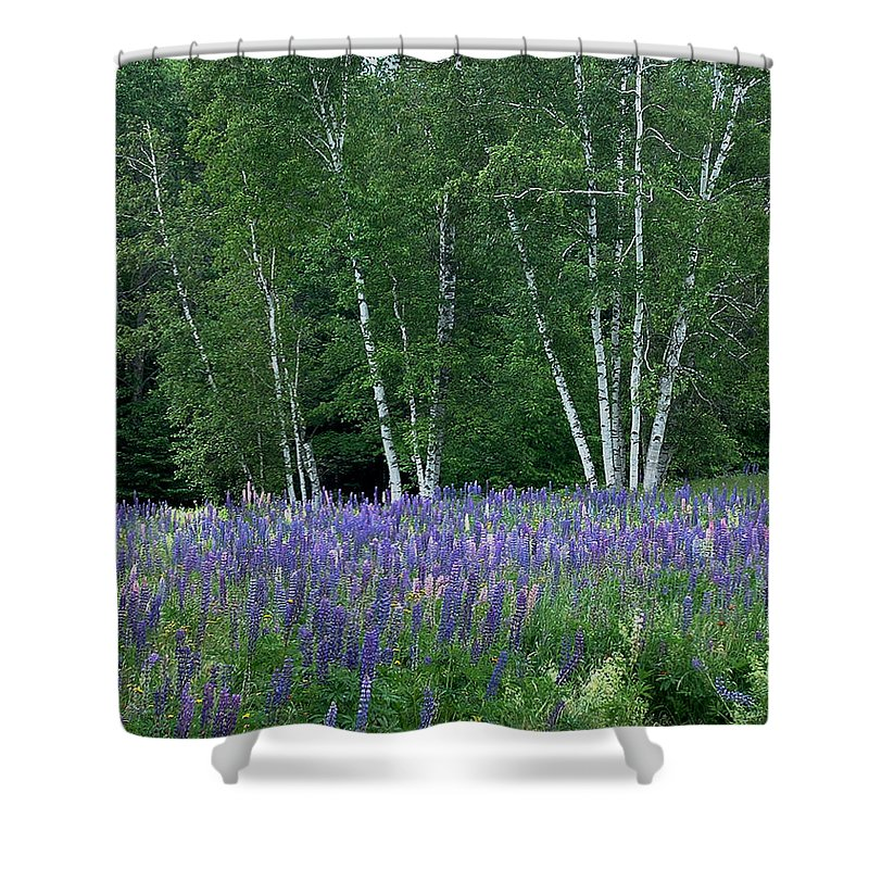 Lupinefest Shower Curtain featuring the photograph Birches In The Blue Lupine by Wayne King