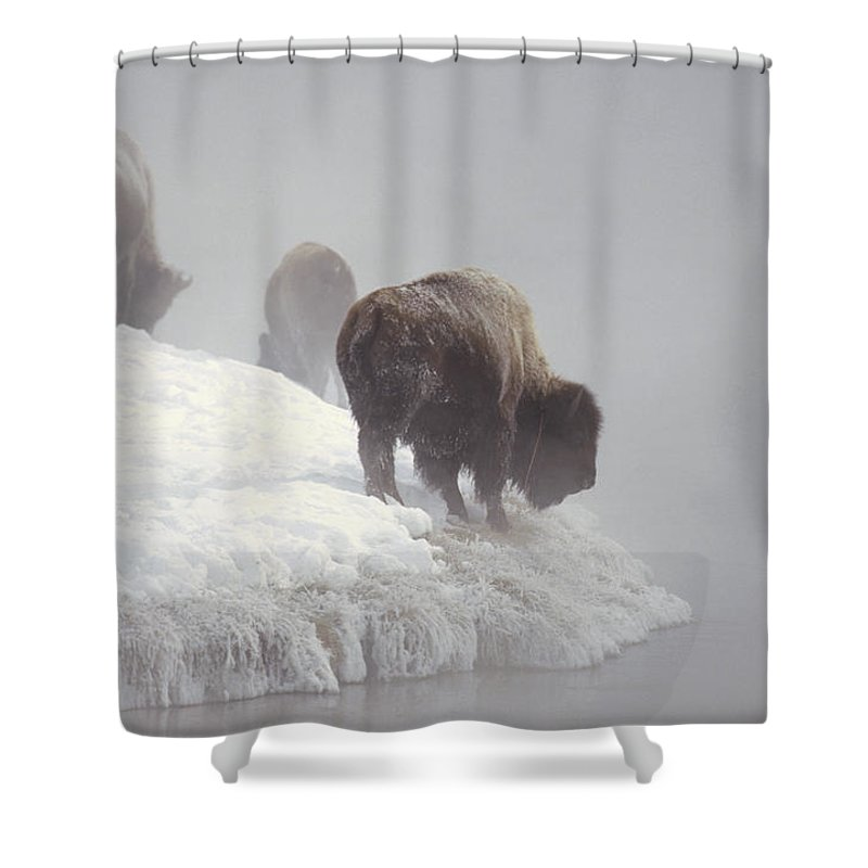 Feb0514 Shower Curtain featuring the photograph Bison Along Snowy Riverbank Yellowstone by Konrad Wothe