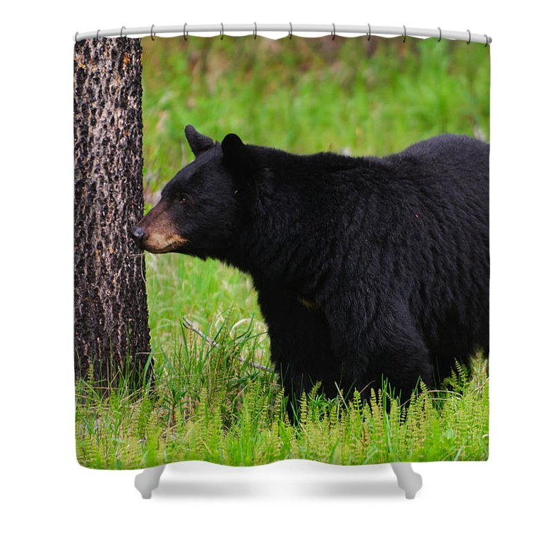 Alberta Shower Curtain featuring the photograph Black Bear by Brandon Smith