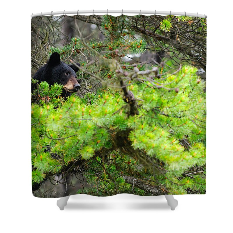Alberta Shower Curtain featuring the photograph Black Bear Family In A Tree by Brandon Smith