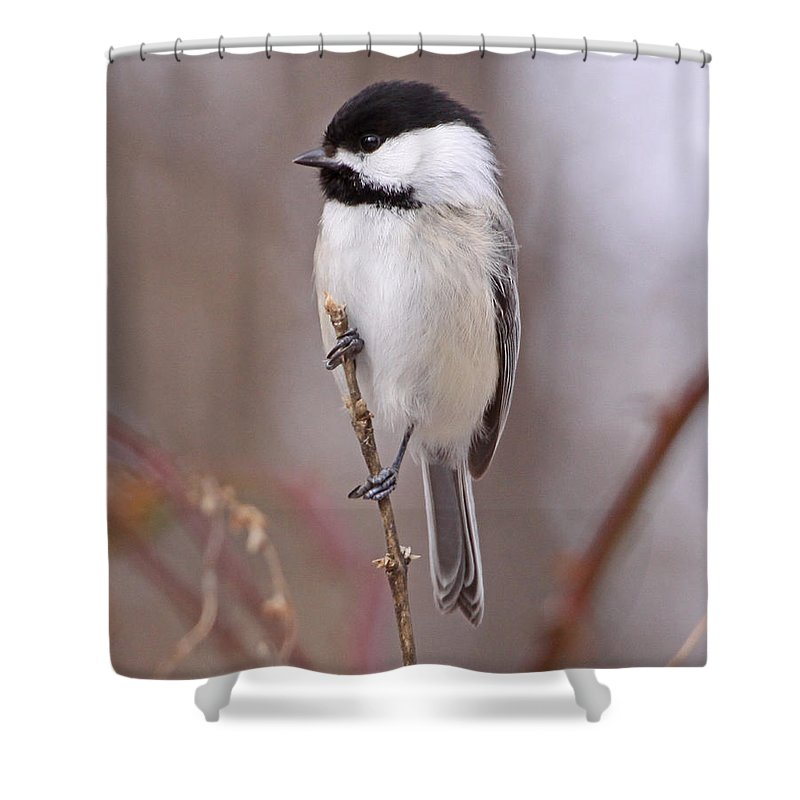 Nature Shower Curtain featuring the photograph Black-capped Chickadee by Mike Dickie