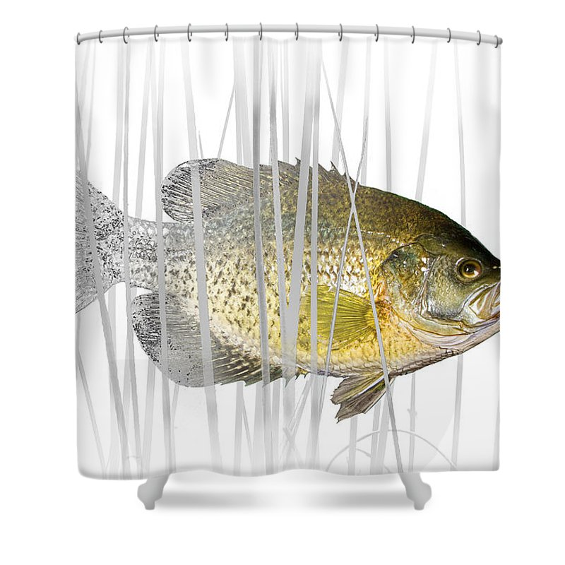 Crappie Shower Curtain featuring the photograph Black Crappie Pan Fish In The Reeds by Randall Nyhof