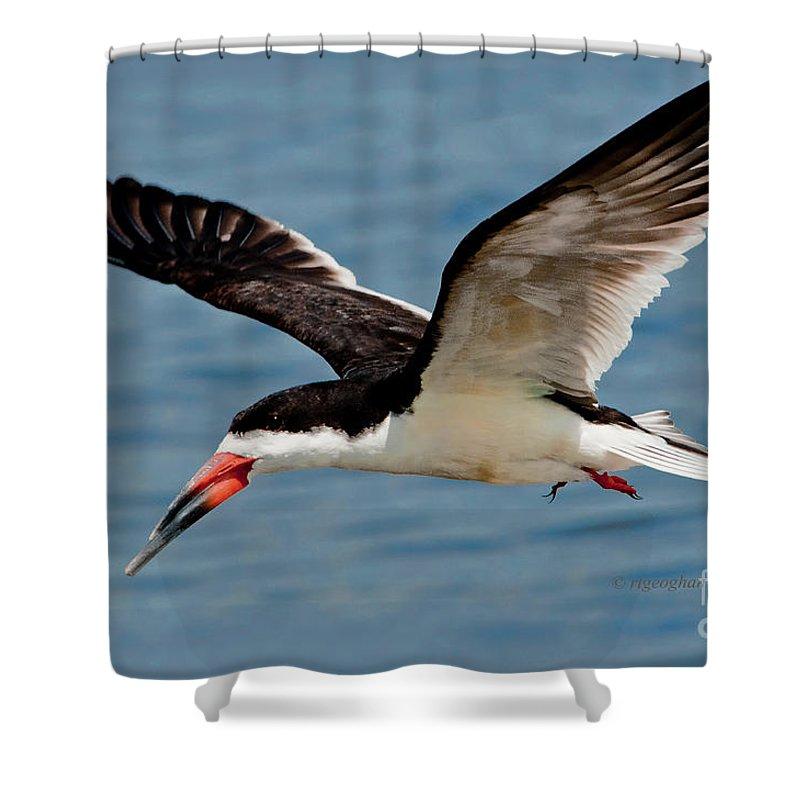 Black Skimmer Shower Curtain featuring the photograph Black Skimmer In Flight by Regina Geoghan