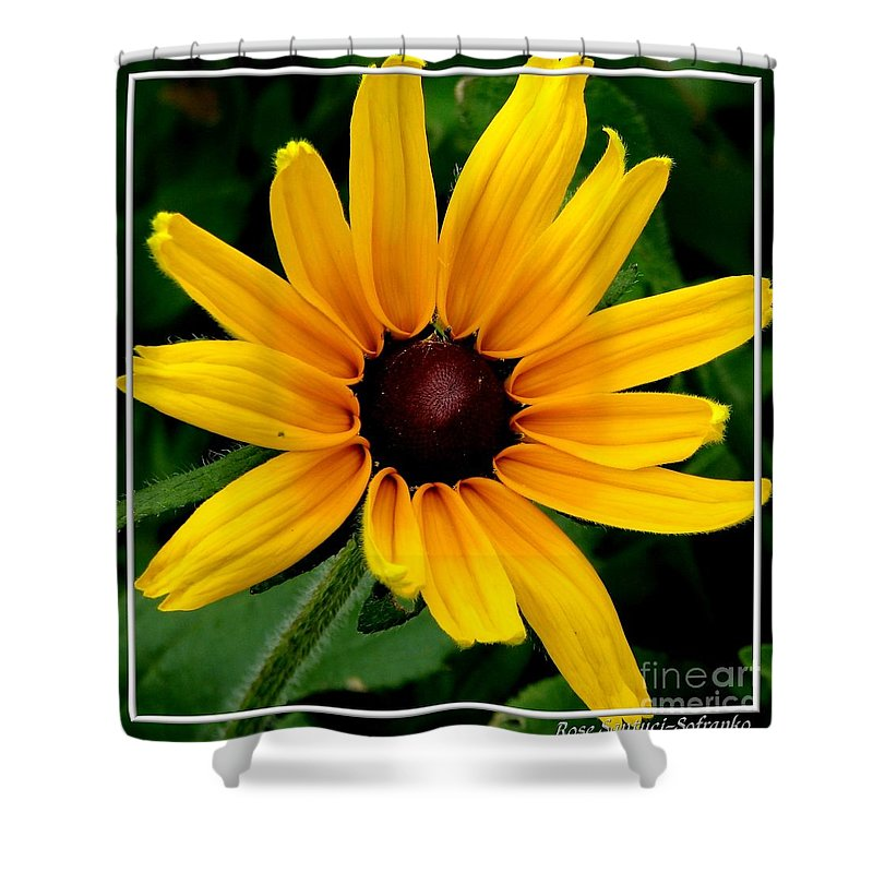 Black-eyed Susan Shower Curtain featuring the photograph Blackeyed Susan by Rose Santuci-Sofranko