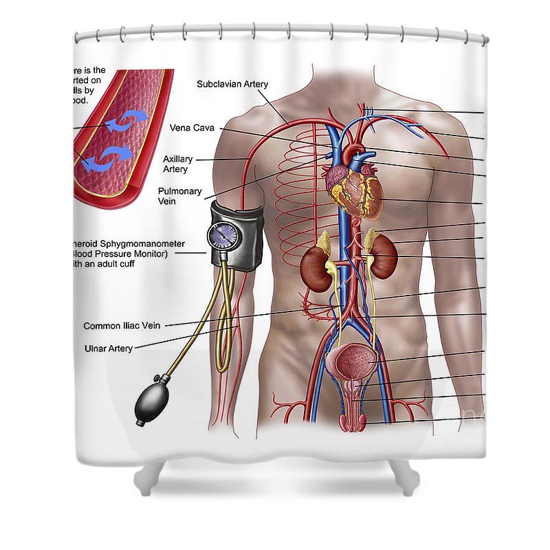 Brachiocephalic Artery Shower Curtains | Fine Art America