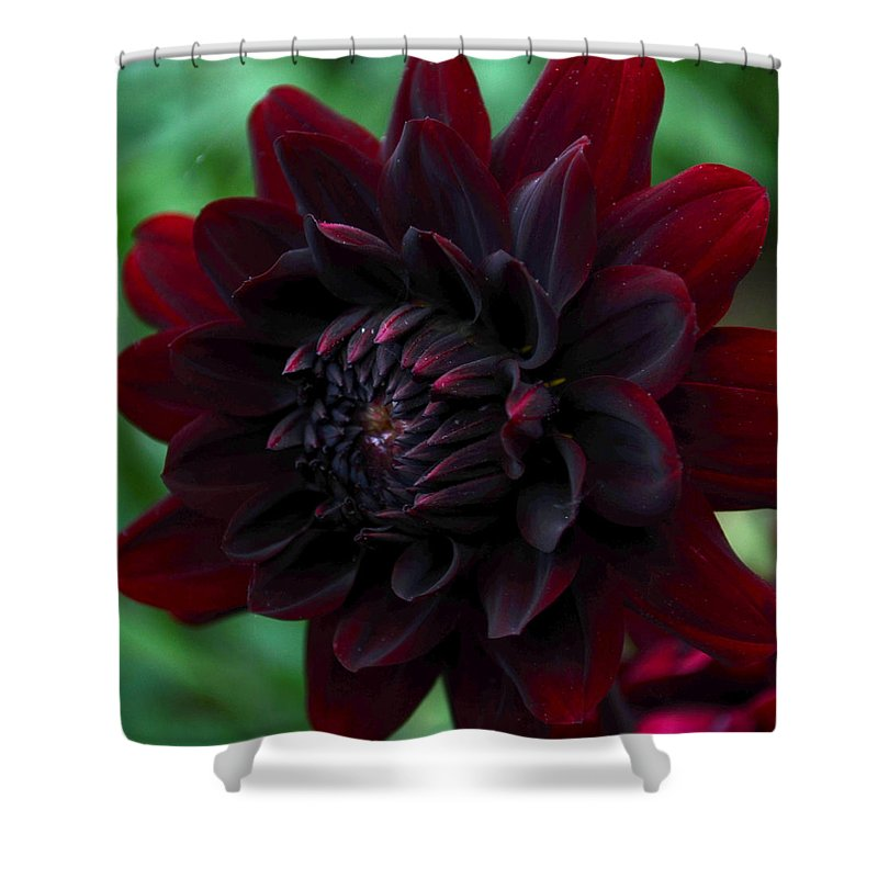 Variegated Shower Curtain Featuring The Photograph Blood Red Dahlia By Kathrine R Mitchell