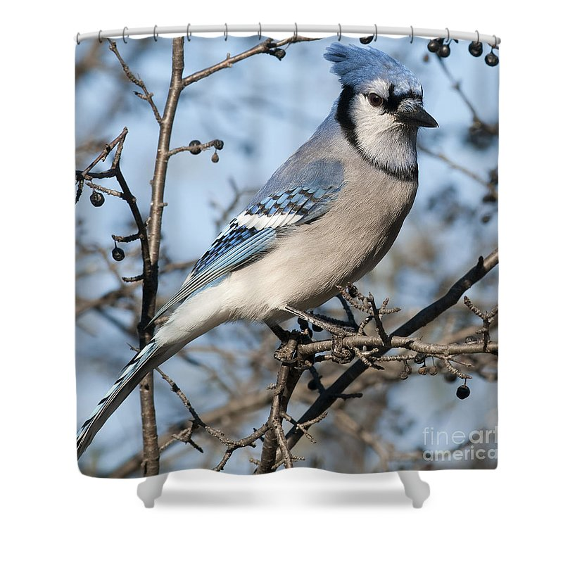 Festblues Shower Curtain featuring the photograph Blue Jay.. by Nina Stavlund