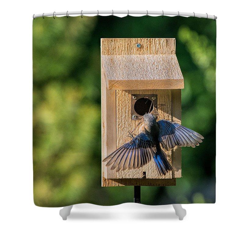 Eastern Bluebird Shower Curtain featuring the photograph Bluebird At Nest by David Kay
