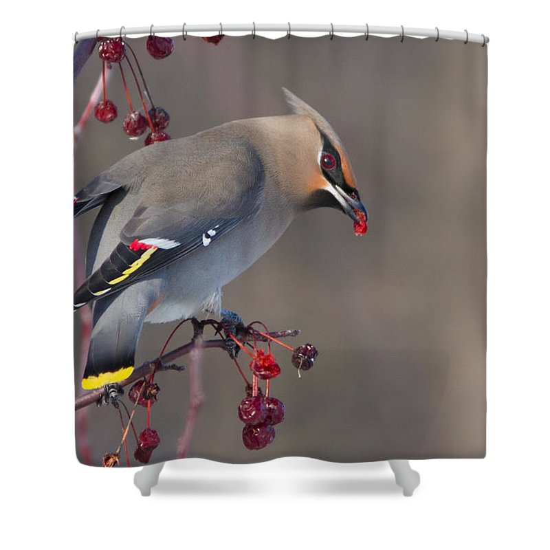 Bohemian Shower Curtain featuring the photograph Bohemian Waxwing by Mircea Costina Photography