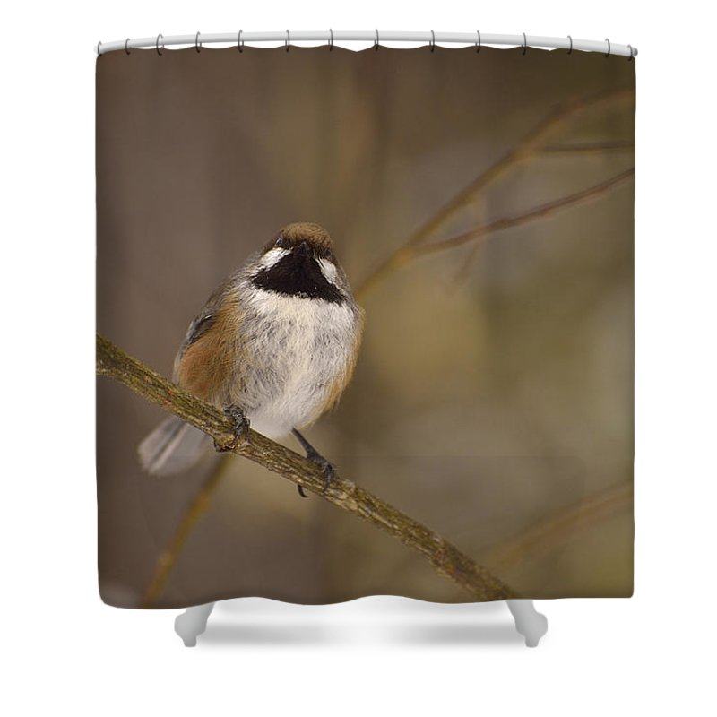 Boreal Chickadee Shower Curtain featuring the photograph Bonding Boreal by Joshua McCullough