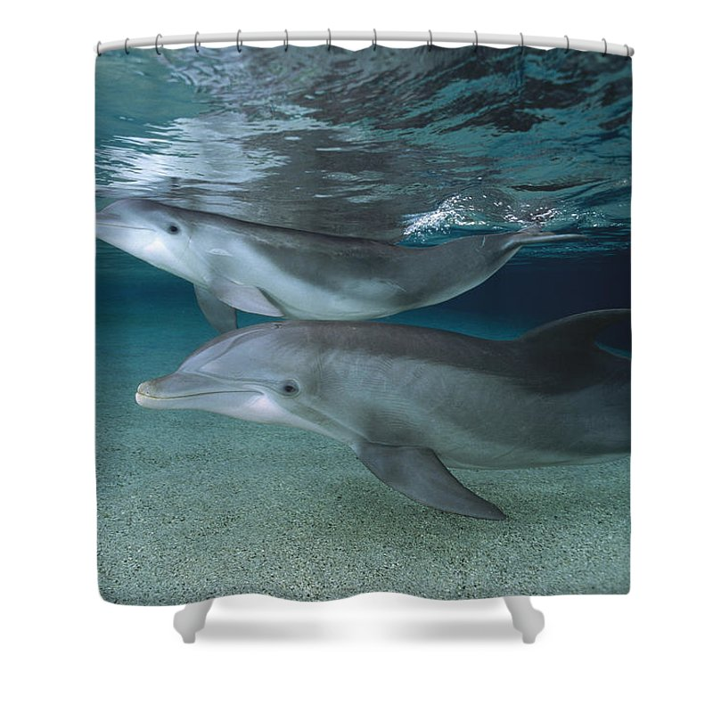 Feb0514 Shower Curtain featuring the photograph Bottlenose Dolphin Adult And Juvenile by Flip Nicklin